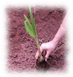 Tree planting as Jyotish remedy